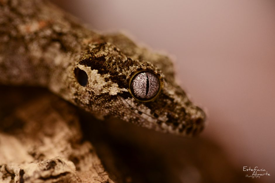 Gheko, reptile, colour, eye, dof