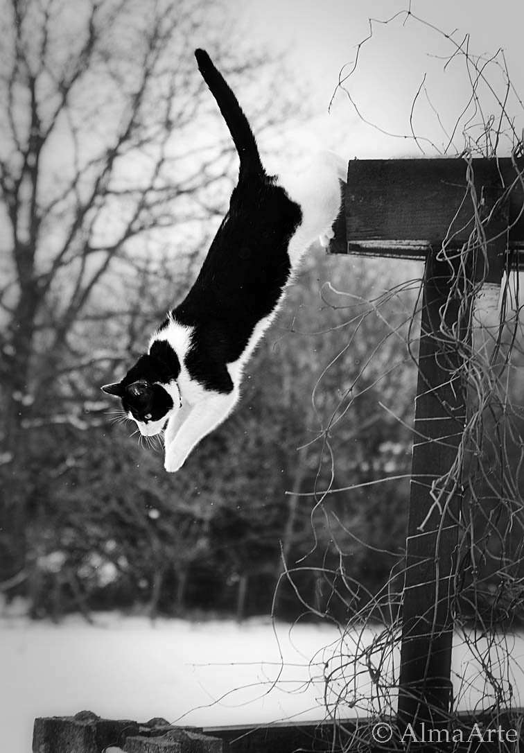 animal pet images, pet, images, animal, cat, jumping, saltar, saltando, frozen, helado, congelado, time, lapse, captura, black and white, almaarte photography, fast speed, manchester, uk, britain