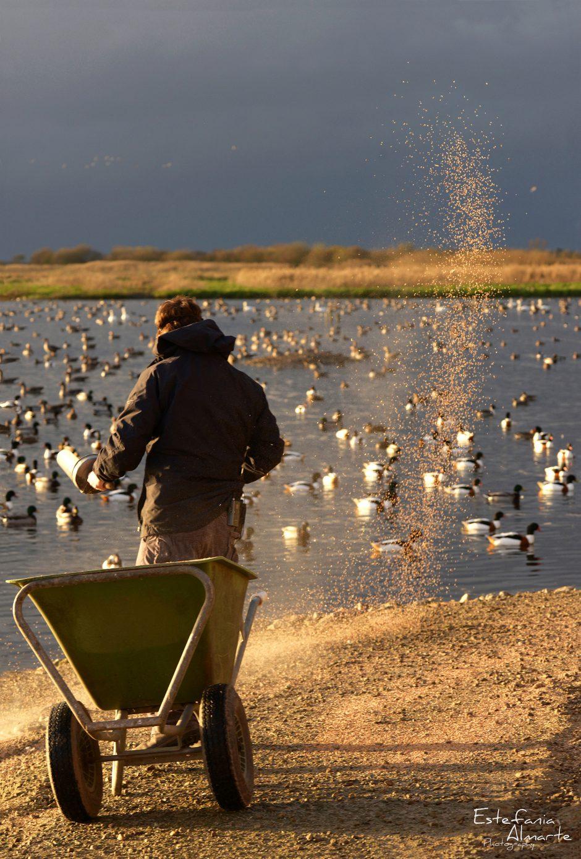 ducks, patos, aves, birds, colour, color, photography, nature, naturaleza, animales, animals, wildlife, sunset, atardecer, England, Inglaterra, UK, Internacional, Spanish
