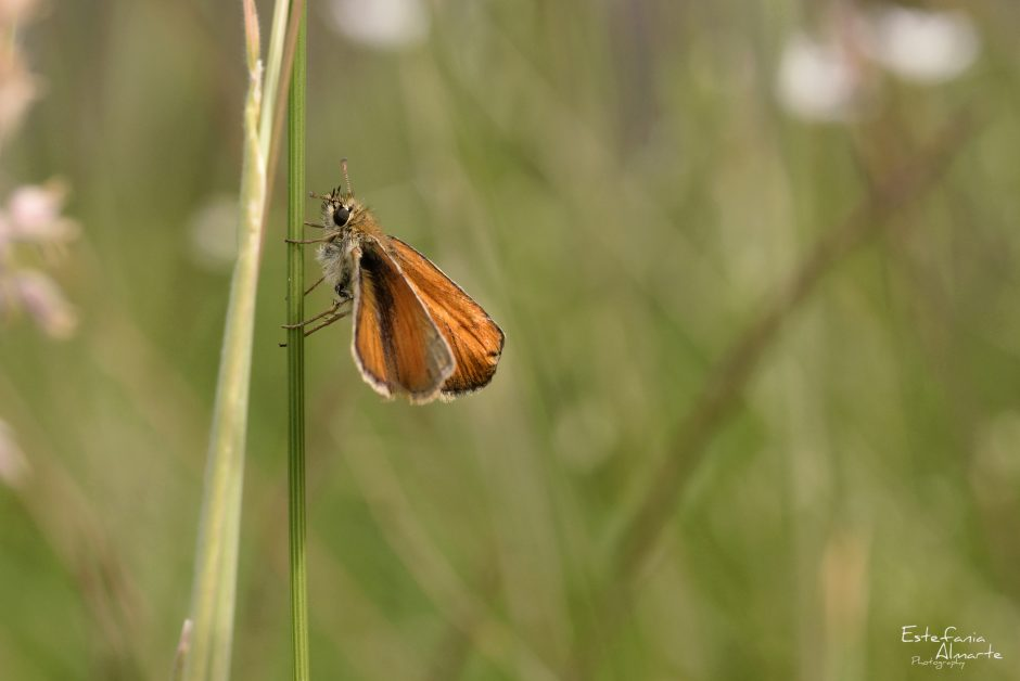 Insect Butterfly Small Skipper