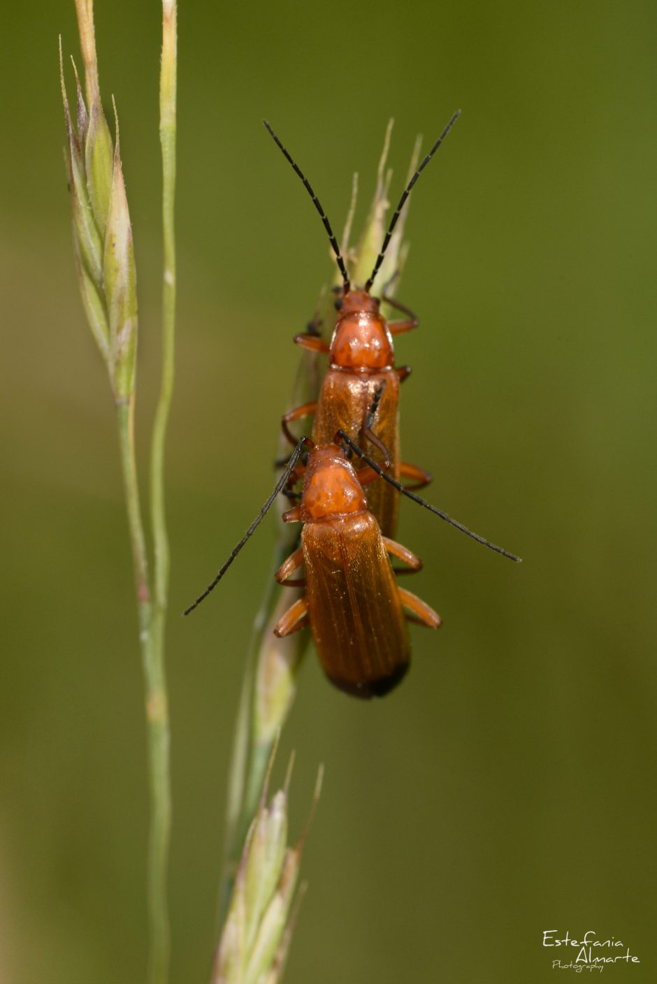 insect Soldier Beetle