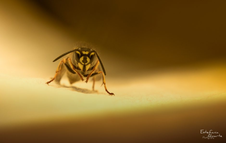 Wasp, Common wasp, insect, insecto, avispa, avispa comun, yellow, light, animal, macro