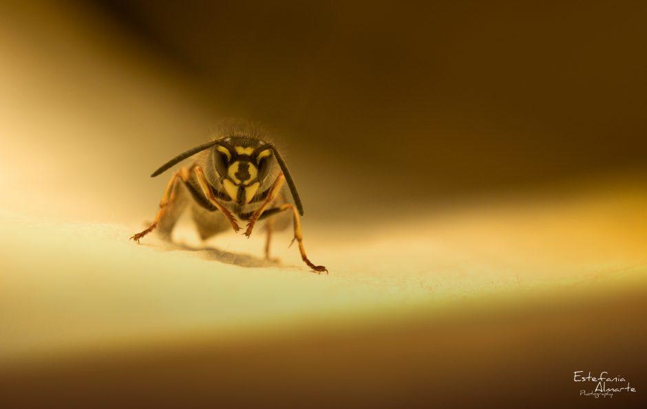 Wasp, Common wasp, insect, insecto, avispa, avispa comun, yellow, light, animal, macro